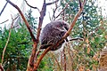 A porcupine on the branches - panoramio.jpg