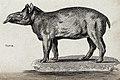 A tapir. Etching by Heath. Wellcome V0021224.jpg