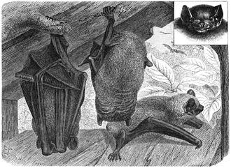 Nyctalus - Image: Abendsegler drawing