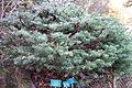 Abies lasiocarpa - Regional Parks Botanic Garden, Berkeley, CA - DSC04293.JPG