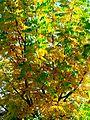 Acacia (8750961521).jpg