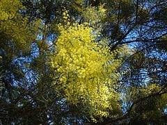 Acacia boormanii 1.jpg