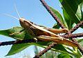 Acanthacris ruficornus citrina - Flickr - gailhampshire.jpg