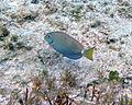 Acanthurus bahianus (ocean surgeonfish) (San Salvador Island, Bahamas) 1 (15965199647).jpg