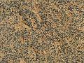 Acarospora strigata - Flickr - pellaea (3).jpg