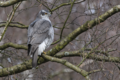 Accipiter gentilis, Hamburg, Germany.png