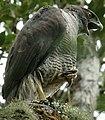 Accipiter henstii.jpg
