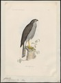Accipiter madagascariensis - 1868 - Print - Iconographia Zoologica - Special Collections University of Amsterdam - UBA01 IZ18300101.tif
