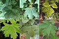 Acer - Érables.jpg
