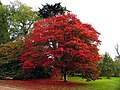 Acer at Down Gate, Westonbirt Arboretum - geograph.org.uk - 69669.jpg