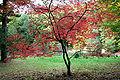 Acer japonicum 'Aconitifolium' JPG1T.jpg