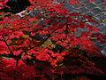 Acer japonicum - Daikakuji,Kyoto 大覚寺のハウチワカエデ DSCF0901.JPG