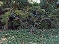 Acer palmatum Nigrum 0zz.jpg