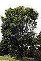 Acer platanoides 11zz.jpg