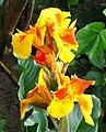 Achira (Canna indica) (14617918590).jpg