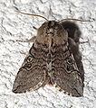 Achlya flavicornis01.jpg