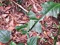 Achyranthes bidentata - Paithalmala (1).jpg