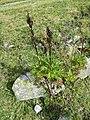 Aconitum napellus plant (14).jpg