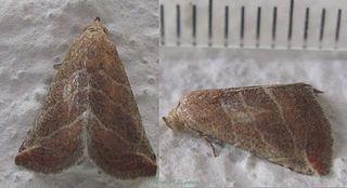 <i>Eublemma</i> Genus of moths