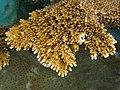 Acropora palmata (Elkhorn Coral) closeup.jpg