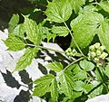 Actaea spicata leaf (04).jpg