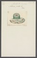 Actinia picta - - Print - Iconographia Zoologica - Special Collections University of Amsterdam - UBAINV0274 109 05 0028.tif