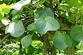 Actinidia chinensis - Urban Greening Botanical Garden - Kiba Park - Koto, Tokyo, Japan - DSC05419.jpg