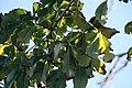 Adansonia digitata 20zz.jpg