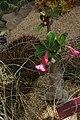 Adenium obesum, Conservatoire botanique national de Brest 06.jpg
