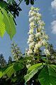 Aesculus hippocastanum - inflorescence.jpg