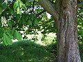 Aesculus hippocastanum 22.jpg