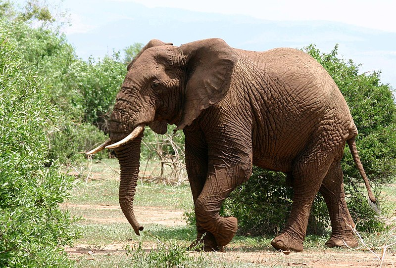File:African Elephant walking.JPG