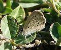 African Grass Blue. Zyzeeria knysna (24060092963).jpg