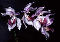 Aganisia cyanea Orchi 02.jpg
