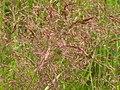 Agrostis stolonifera (3820200587).jpg