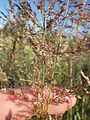 Agrostis stolonifera (7641707554).jpg