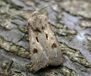 <i>Agrotis</i> genus of insects