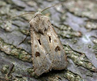 Heart and dart - Image: Agrotis exclamationis 01