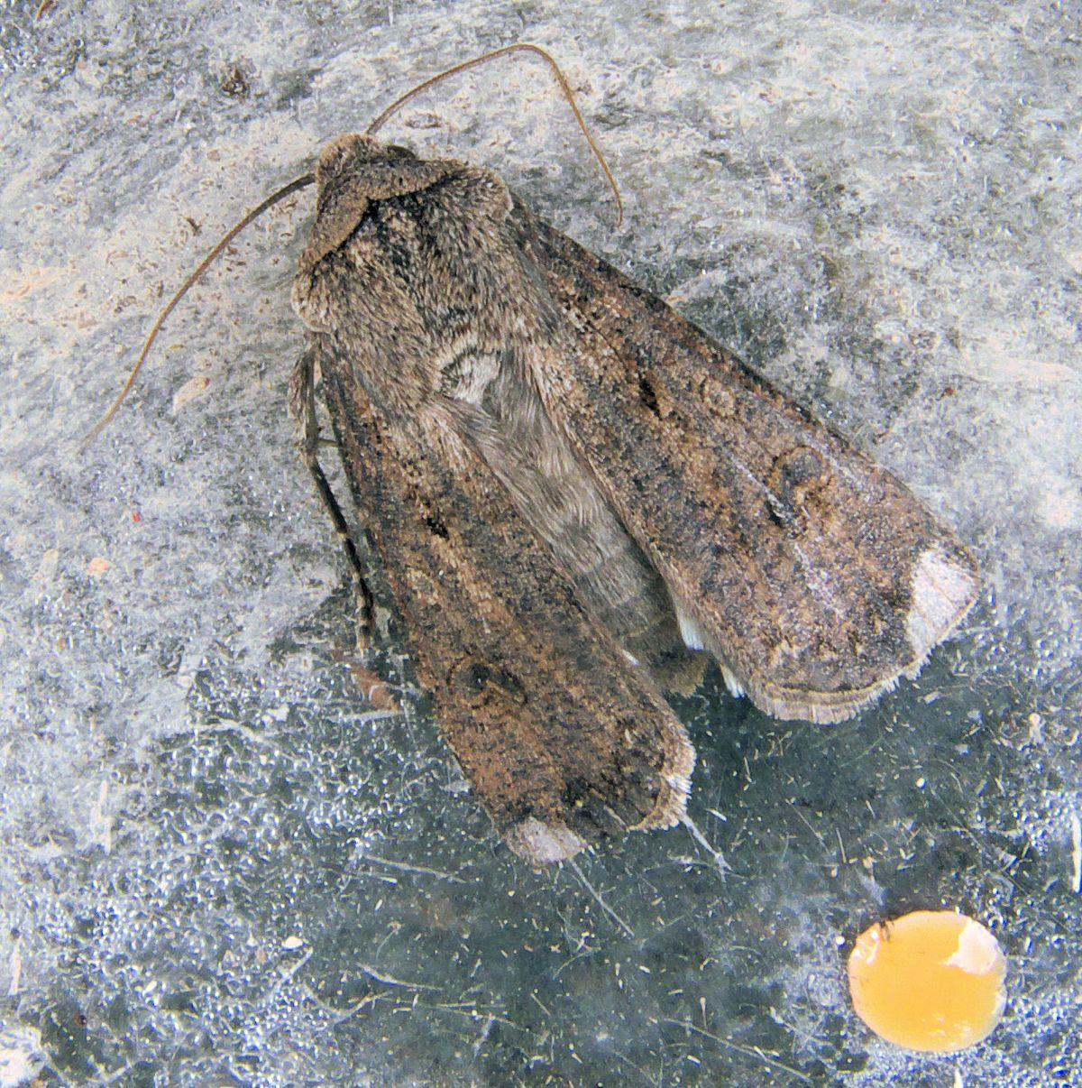 Agrotis ipsilon - Wikimedia Commons
