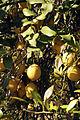 Agrumes Citrons Cl J Weber01 (23566846322).jpg