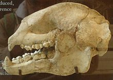 Ailuropoda fovealis skull.jpg