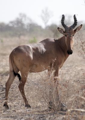 Kuhantilope (Alcelaphus buselaphus major), westafrikanische Unterart