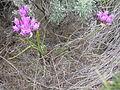 Allium acuminatum.jpg