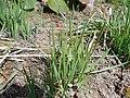 Allium cyathophorum 2017-04-20 8408.jpg