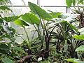 Alocasia plumbea - Palmengarten Frankfurt - DSC01787.JPG