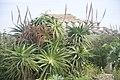 Aloe arborescens-3293.jpg