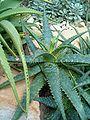 Aloe grandidentata BotGardBln271207A.jpg