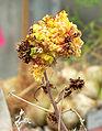Aloe karasbergensis 2.jpg