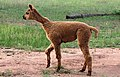 Alpaca in a field-02+ (2147724665).jpg