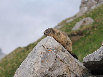 Alpenmurmeltier Marmota marmota 3